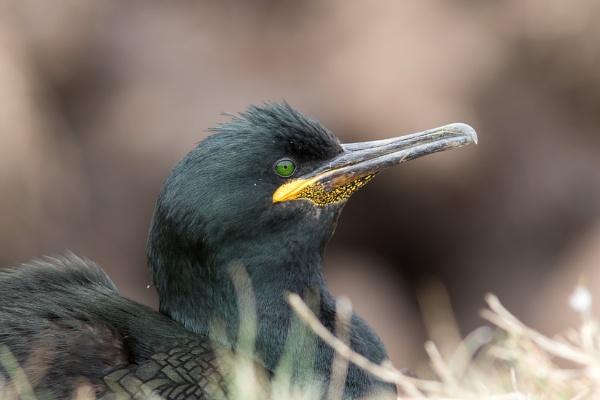 Shag (Phalacrocorax aristotelis) by Ray_Seagrove