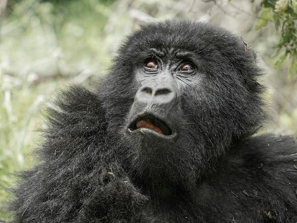 Scared - Ugandan Gorilla - female by Jamie_MacArthur