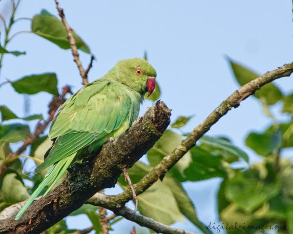 Ring-necked Parakeet by Alan_Baseley
