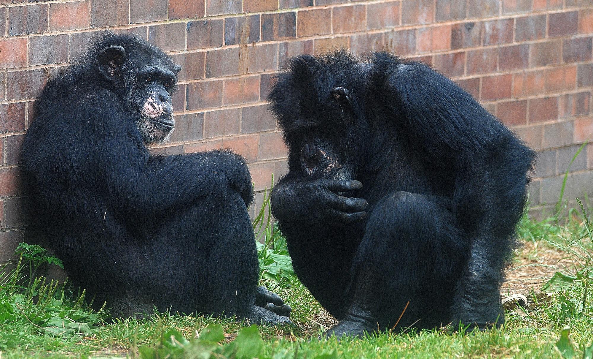 Chimp  talk