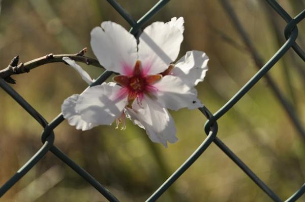 Algarve\'s almond blossom. by Chinga
