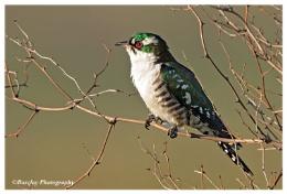 Dedericks Cuckoo