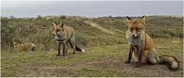 Three Wild Foxes