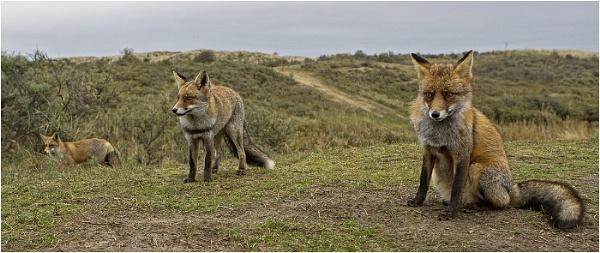 Three Wild Foxes by hibbz
