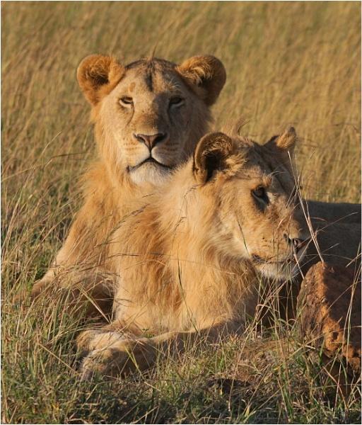 Lions by notsuigeneris