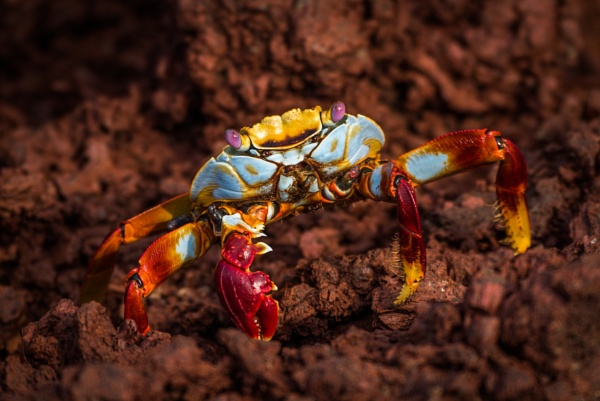 Sally Lightfoot crab perched on brown rock