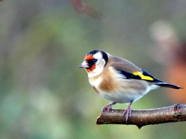 Goldfinch by DerekHollis