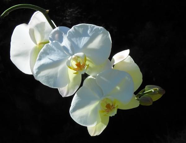 Phalaenopsis gigantea spp
