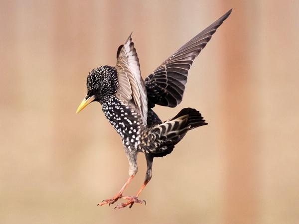Starling--Sturnus vulgaris. by bobpaige1