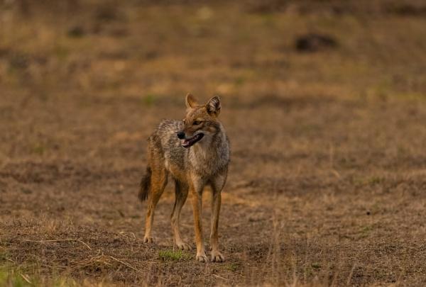 On the prowl by Heyneker