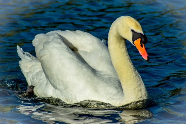 Mute Swan by lost_in_colour