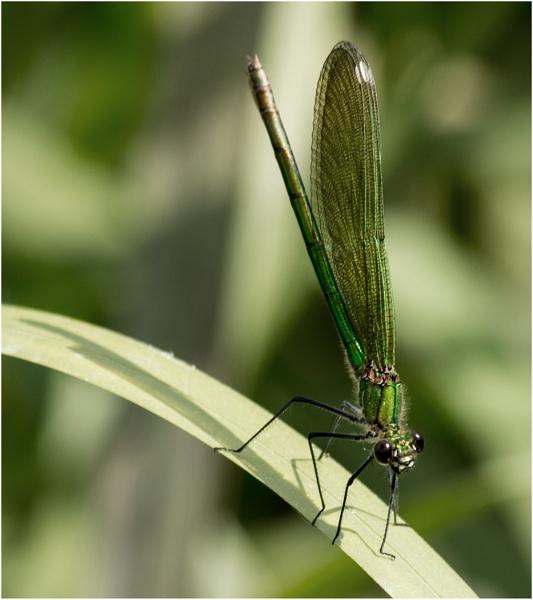 Emerald Damselfly by dven