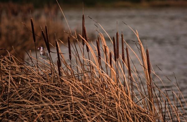 Bullrushes at Dusk by sandwedge