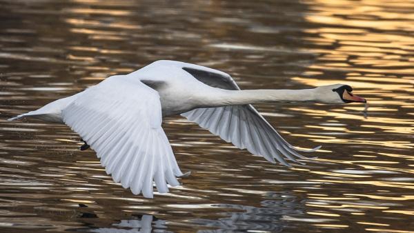 Flying Swan by chensuriashi
