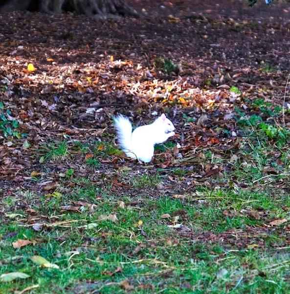 The Albino Squirrel by belsaye