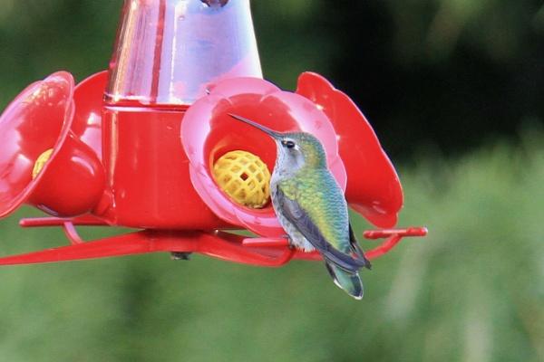 Anna\'s humming bird by Bear46404