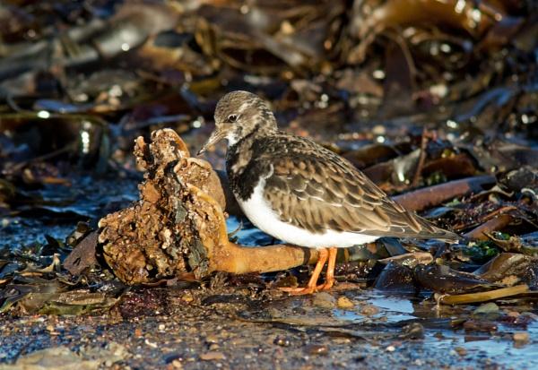 Turnstone probing seaweed by oldgreyheron