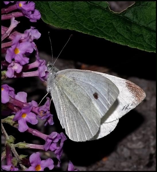 Small White-Pieris rapae...