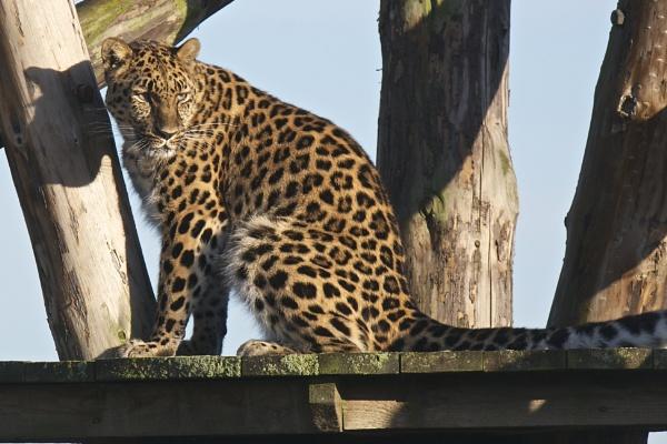 Leopard by harrywatson