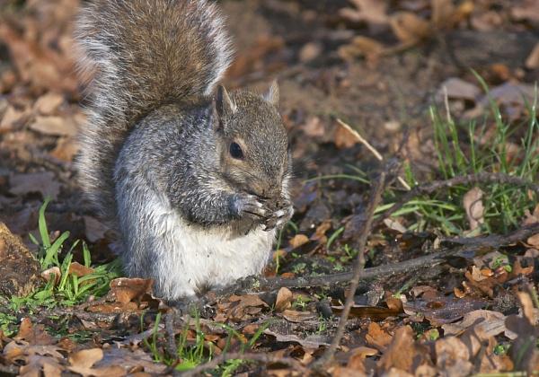 Grey Squirrel by harrywatson