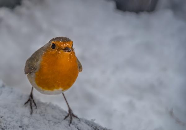 Snow on my beak by Craigie10