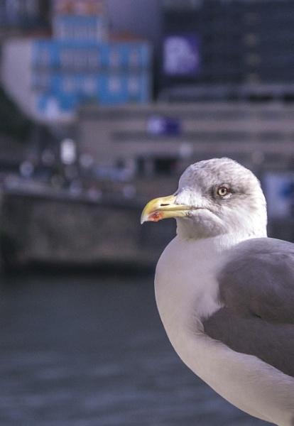 A Gull in Porto by nonur