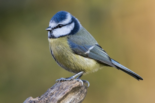 Garden Blue Tit by richmowil
