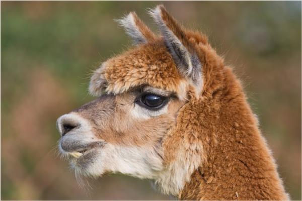 Alpaca by mjparmy