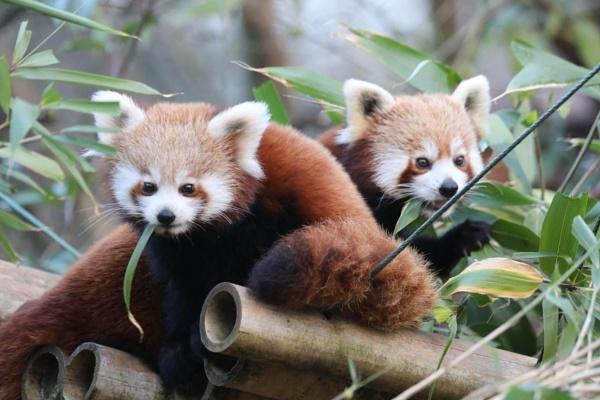 Red Panda by kpp