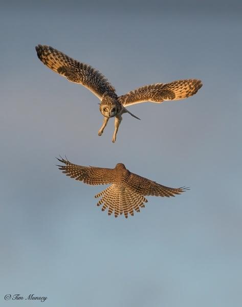 Owl vs Kes by TimMunsey