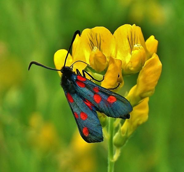 Five spot Burnet Moth. by georgiepoolie