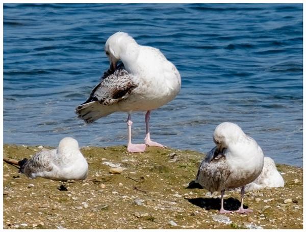 Gulls by Nikonuser1