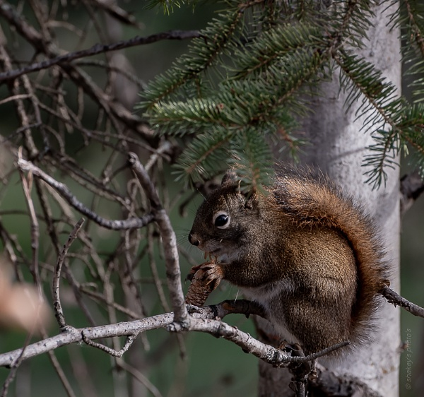 Squirrel by shakeyhands