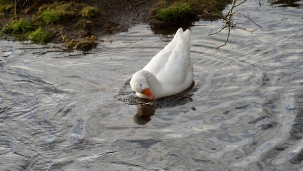 Swan swims around just below the Innerleithen Tweed Bridge! by xosn