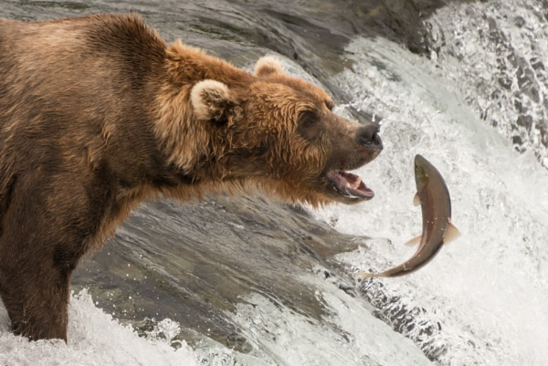 Brown bear about to catch a salmon by NickDale