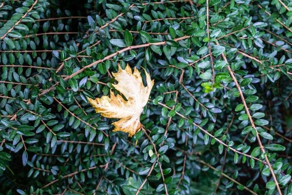 Dry leaf in bush by rninov