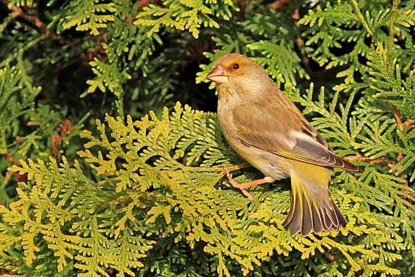 Greenfinch--Carduelis chloris. by bobpaige1