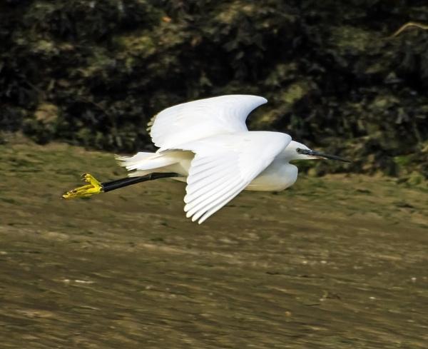 Little egret by Madoldie