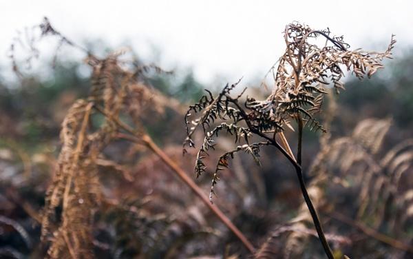 Winter ferns by Madoldie