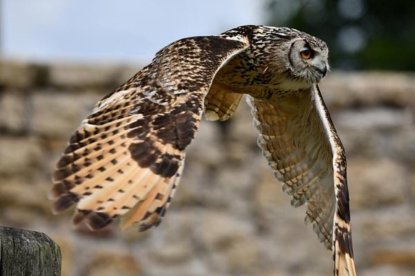 Owl Flight 2