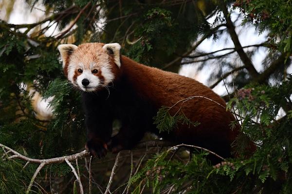 Festive Red Panda