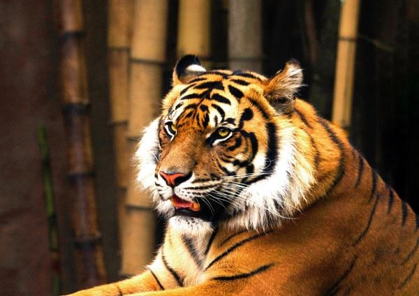 Sumatran Tiger by Wireworkzzz