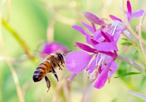 Bumblebee in Espoo