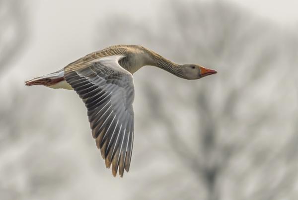 vliegende grauwe gans by gerti62