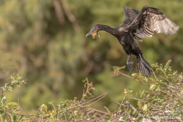 Double-Crested-Cormorant by DBoardman