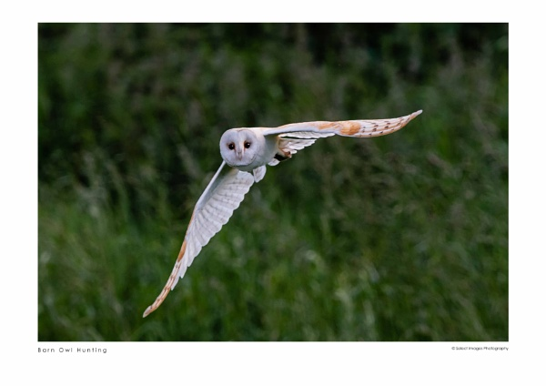Barn Owl Hunting by running_man
