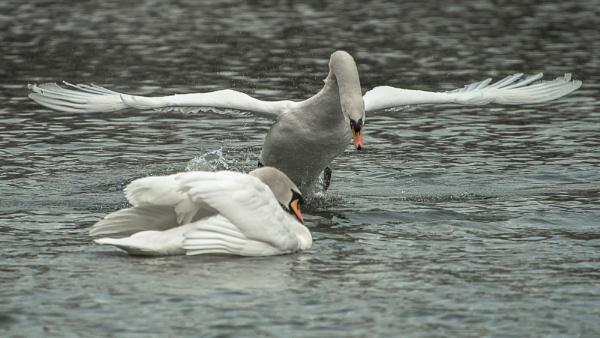 Fighting Swans by chensuriashi