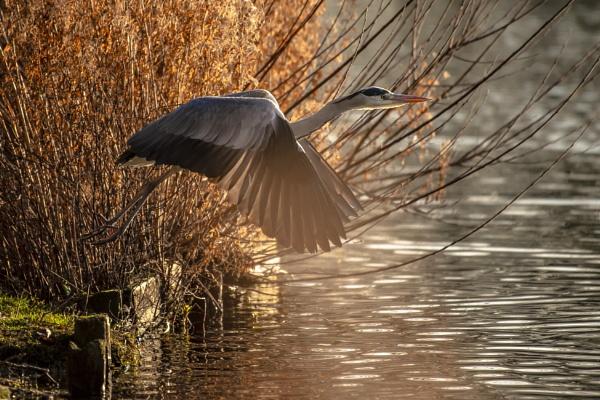 Take Flight Winter Heron by chensuriashi