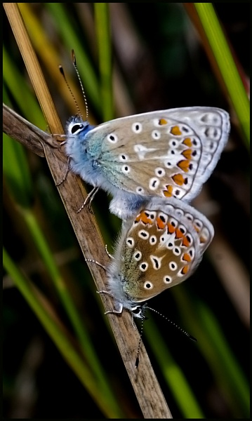 Mating Pair of Common Blues..