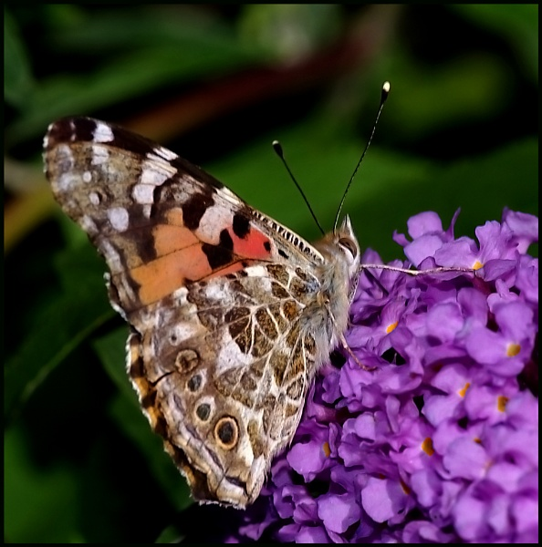 Painted Lady Nectaring on a Buddleia: